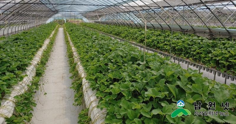 0819농업기술센터-명품 딸기재배 우량묘 생산으로 해결 (2).jpg